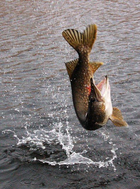 Photo of Как поймать щуку