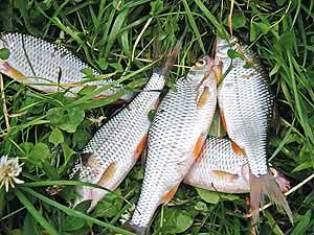 Ловля белой рыбы на пикер
