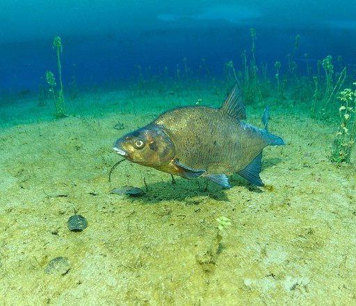 Photo of Лещ – желанная добыча многих рыболовов-любителей. Ловля леща
