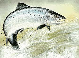 Photo of Лосось— трудная, но ценная добыча. Ловля лосося