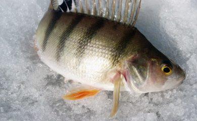 Зимняя рыбалка. Ловля окуня на балду
